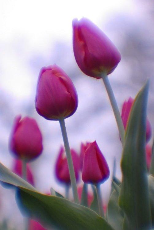 1343880777_tuliplr.thumb.jpg.81e82d7cd7a91324221830647e828d06.jpg